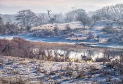 20190131-1028-22 (Don Oppedijk) Tags: amsterdamsewaterleidingduinen awd cffaa fallowdeer damherten snow