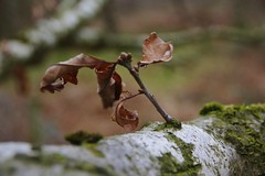 Last leaves (Sundornvic) Tags: nature woods leaves green branches winter brown dead