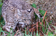 Bobcat (Thy Photography) Tags: bobcat bobcatwithprey wildlife animal mammals nature photography prey outdoor livemore sanfranciscobayarea pointreyesnationalseashore edlevin animals sunrise sunset california sonya9 sunshine raptor rain mouse gopher happylunarnewyear