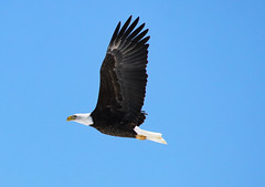 Bald Eagle (Diane Marshman) Tags: baldeagle eagle raptor large black brown wings body white head tail feathers motion action blue sky fall pa pennsylvania nature wildlife