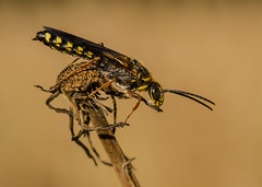 Sand Wasp (m&em2009) Tags: macrounlimited insects close up nature nikon 60mm wasp sand dof colours australia wa