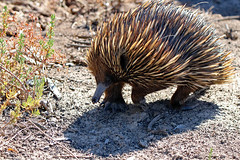 Australia's Echidna (aussiegypsy_Katherine NT) Tags: echiidna walkersflat rivermurray short beaked tachyglossusaculeatus fur spines spiney spiny anteater animal animalia chordata mammalia mammal monotremata monotreme tachyglossidae taculeatus strong limbs claws snout fullbody australia australian aussie aussiegypsy lorraineharris south southern moving onthemove hunting front view widespread wild wildlife nature outdoors bush riverbank solitary gooddigger