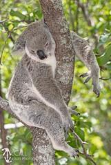Koala (Phascolarctos cinereus) (McCall Wildlife Photography) Tags: 2019 australia d7500 january magneticisland queensland townsville wildlife wildlifephotography mccallwildlifephotography nature outside island marsupial mammal koala phascolarctoscinereus