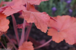 I do love a #heuchera for giving year-round colour! This one goes by the name cherry cola, not a drink I like, but I do recommend the plant  #groundcoverplants #gardendesigntips #gardendesigner #gardendesignersoninstagram #gardeningteacher #gardenconsulta