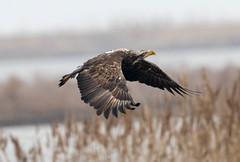 7K8A1046 (rpealit) Tags: scenery wildlife nature edwin b forsythe national refuge brigantine immature bald eagle bird