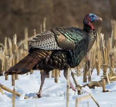 Wild Turkey (vischerferry) Tags: turkey wildturkey gamebird malleagrisgallopavo newyorkstate iridescent snow winter