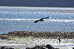 Robin Hood's Bay (119) (rs1979) Tags: greyheron heron robinhoodsbay northyorkshire yorkshire beach rockyforeshore