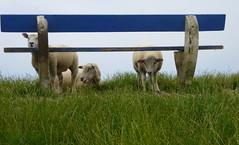Windschutz- windbreak (Anke knipst) Tags: bank bench deich dike nordsee northsea schafe sheep tier animal schlüttsiel