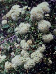 Eucalyptus haematoxylon, Kings Park, Perth, WA, 21/12/94 (Russell Cumming) Tags: plant eucalyptus eucalyptushaematoxylon myrtaceae kingspark perth westernaustralia