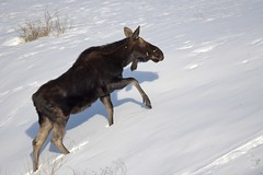 Winter bull moose (rangerbatt) Tags: shirasmoose moose alcesamericanusshirasi wasatchmountains utahwildlife wildutah wintermoose nikon d7500 sigma150600mmsports bullmoose