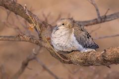 Mourning Dove (Lynn Tweedie) Tags: wood tail 7dmarkii feathers missouri branch bird wing beak sigma150600mmf563dgoshsm canon eos ngc animal