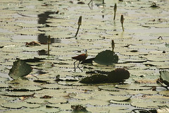African jacana on the road to Ankasa in Ghana (inyathi) Tags: africa westafrica ghana africanwildlife africananimals africanbirds birds africanjacana actophilornisafricanus