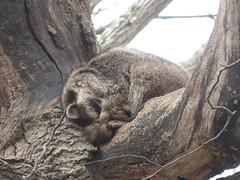 Raccoon 2 (D. S. Hałas) Tags: halas hałas canada ontario haltonregion haltoncounty oakville nipegontrail chordata sarcopterygii mammalia carnivora procyonidae procyonlotor raccoon