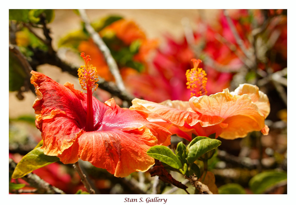 The World's newest photos of hawaii and hibiscus - Flickr Hive Mind