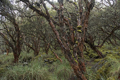 Polylepis forest (ggallice) Tags: polylepis forest huascarannationalpark ancash peru huascaran andes mountains mountain huaraz cordillerablanca callejondehuaylas