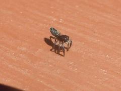 Bum's Away (tessab101) Tags: holoplatys jumper jumping salticid salticidae spider spiders arachnid arthropods macro