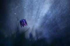Damiers pourpres (Elias macro proxy photographies) Tags: nuit ambiance bleu blue fritillaria fritillaire pluie eau water canon6d meyer trioplan100f28 m42 lumière light night
