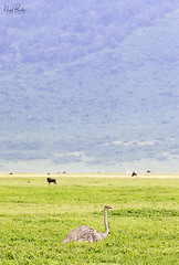 OSTRICH 4 (Nigel Bewley) Tags: tanzania africa wildlife nature wildlifephotography nigelbewley photologo appicoftheweek safari gamedrive ostrich struthiocamelus march march2019 ngorongoroconservationarea