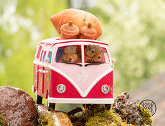red squirrels sitting in a camping bus with acorn on roof (Geert Weggen) Tags: mammal rodent squirrel nature animal red flower closeup cute funny happy summer look tender love redsquirrel backgrounds colorimage environment nopeople photography volkswagen bus retrostyled hippie minivan oldfashioned vanvehicle camping car collectorscar driving landvehicle outdoors stationwagon transportation ride road acorn nut food geert weggen geertweggen sweden jämtland ragunda bispgården hardeko