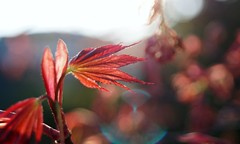(farmspeedracer) Tags: bokeh red rot rouge 2019 april nature bush blatt leaf leaves light reflection ray color