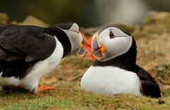 Hallo (Sue Wolfe) Tags: welshwildlifebreaks pembrokeshire pembrokeshireislands puffins nature coast sea islands seabirds wales cymru wildlife