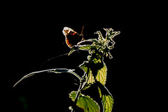 Red Admiral Butterfly,( Vanessa atalanta) (The Rustic Frog) Tags: vanessa atalanta warwickshire wood nettle weed flower insect butterfly red admiral admrial camera sir cannon canon evening woods sunset dusk uk england midlands central county great britain