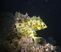 Siganus corallinus (kmlk2000) Tags: maldives vacation sea ocean sealife sun blue underwater fish poisson beach reef