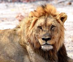 Scars of time. (pstone646) Tags: lion wildlife bigcat nature africa fauna mammal bigfive etosha namibia male mane safari animal scars feline