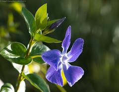 365-2019-02-12 (AGONZA) Tags: flores azul verde color macrofotografía bokeh ángel mallorca baleares