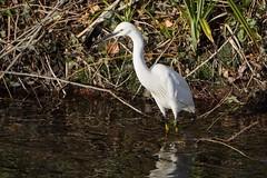 Little Egret (tanyalinskey) Tags: nature wildlife wild water littleegret bird grass egret river