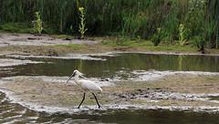 Eurasian spoonbill - nature reserve Kruibeke - Belgium (roland_tempels) Tags: bird naturereserve kruibeke belgium supershot eurasianspoonbill