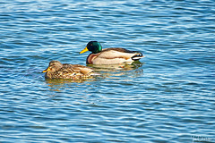Mr. and Mrs. Mallard (Ian Charleton) Tags: mallard duck male female water waterfowl anasplatyrhynchos bird newport rhodeisland outdoo wildlife urbanwildlife