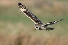 Short-eared Owl (NickWakeling) Tags: shortearedowl norfolk uptonfen owl canoneos7dmarkii sigma150600mmf563dgoshsmcontemporary