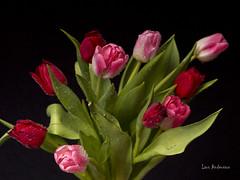 _61A0298 (fotolasse) Tags: blommorstudiontulpaner blommor flowers blad tulpaner sweden sigma 50mm canon studio light visico ttl5