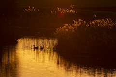 Silhouettes (Tris1972 (tmorphewimages.co.uk)) Tags: silhouettes shadows lights dawn morning sunrise early gold orange yellow highlights backlit ducks nature water reflections river riverwissey norfolk