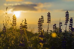 Early Lupins (veredgf) Tags: lupin lupins lupine sunrise sillouhette backlight flowers