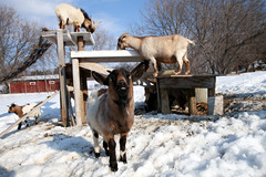 goat playground (massdistraction) Tags: goats goatfarm stpatricksday party saunaparty march snow winter outside friends fun goat farm farmparty sauna rural country