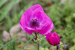 EN8A4933 (Karin Michies) Tags: botanischetuinen botanischetuinenutrecht universiteitutrecht utrechtuniversity botanicalgardens bloemen flowers natuur nature anemoon anemone
