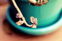 Recovering succulent (Anna Peterson) Tags: plant pentax pentaxk3 pentaxa50f28macro manualfocus