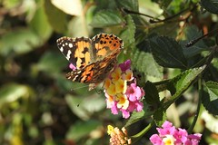 Бабочка (unicorn7unicorn) Tags: цветы бабочка wah 52weeks2019 лантана 365the2019edition 3652019 day79365 20mar19 colorfulnature