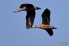 Whistling Duck (Banerjee-India) Tags: birds animals nature wildlife photogreaphy whistlingduck lesserwhistlingduck migratorybirds indianbirds birdsphotography indianbirdsphotography sky flying
