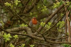 _MG_2237 (Nekogao) Tags: bird birds uk ukbirds britishbirds 鳥 鳥類 イギリス 自然 nature wildlife robin europeanrobin passerine ヨーロッパコマドリ