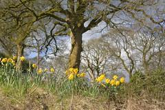 Roadside (Tony Tooth) Tags: nikon d7100 sigma 70mm daffodils flowers spring march newtown staffs staffordshire
