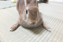 Ichigo san 1524 (Errai 21) Tags: いちごさん ichigo san  ichigo rabbit bunny cute netherlanddwarf pet うさぎ ウサギ いちご ネザーランドドワーフ ペット 小動物 1524