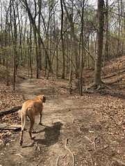90/365 (moke076) Tags: 2019 365 project 365project project365 oneaday photoaday mobile cell cellphone iphone moose great dane dog animal pet fawn hiking hike woods forest chattahoochee river recreational area eastpalisades indiantrail trail path nature