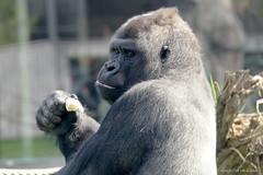 Say that again !!!!!!!!! (DirkVandeVelde ( very busy)) Tags: antwerpen anvers antwerp animalia animal europa europ europe belgie belgium belgica belgique buiten biologie zoo zoogdieren mammalia mensapen gorilla primates primaten fauna sony