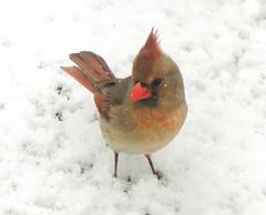 Springtime Snowstorm (mahar15) Tags: cardinal nature birds outdoors wildlife snow femalecardinal femalenortherncardinal northerncardinal