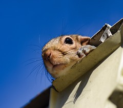 hey there fella, get out of my gutter (badness64) Tags: gutter squirrel