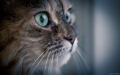 Bella (Melissa M McCarthy) Tags: bella cat kitty pet portrait face closeup macro animal tortie rescue senior cute whiskers green eyes canon7dmarkii sigms105mmmacro