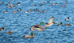 Male and Female Mallard Ducks Flying (scattered1) Tags: duck mi water wing mallard fly greatlake michigan female lakeeriemetropark male lakeerie swim bird mallardduck park anasplatyrhynchos green rockwood